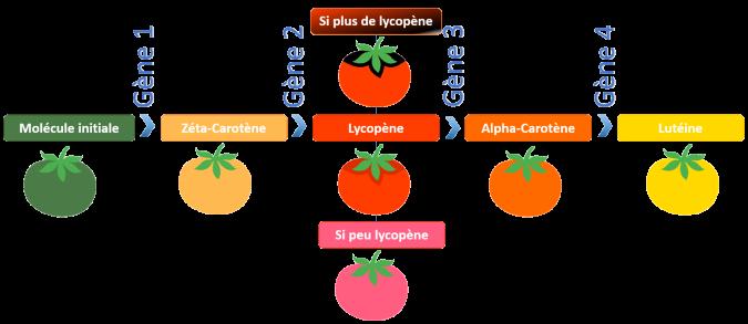 Gène-tomate