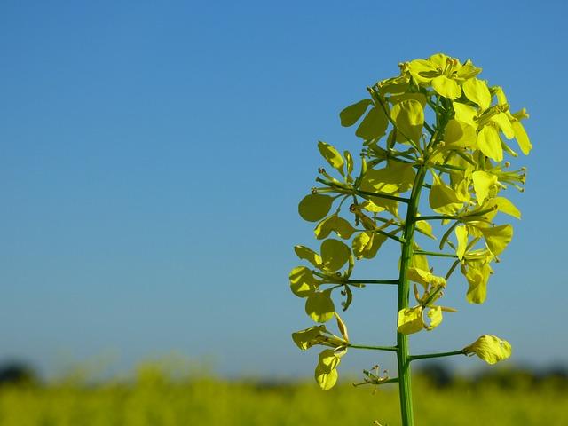 mustard-1750338_640